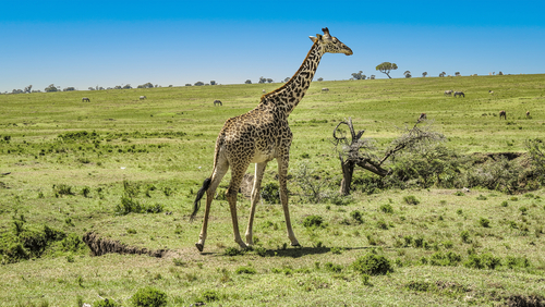 Out of Africa – Kenia
